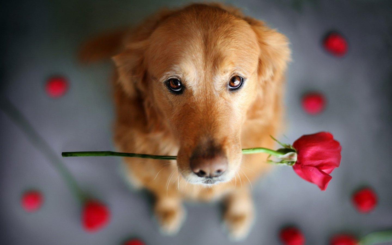 唯美温馨 送玫瑰花的狗狗