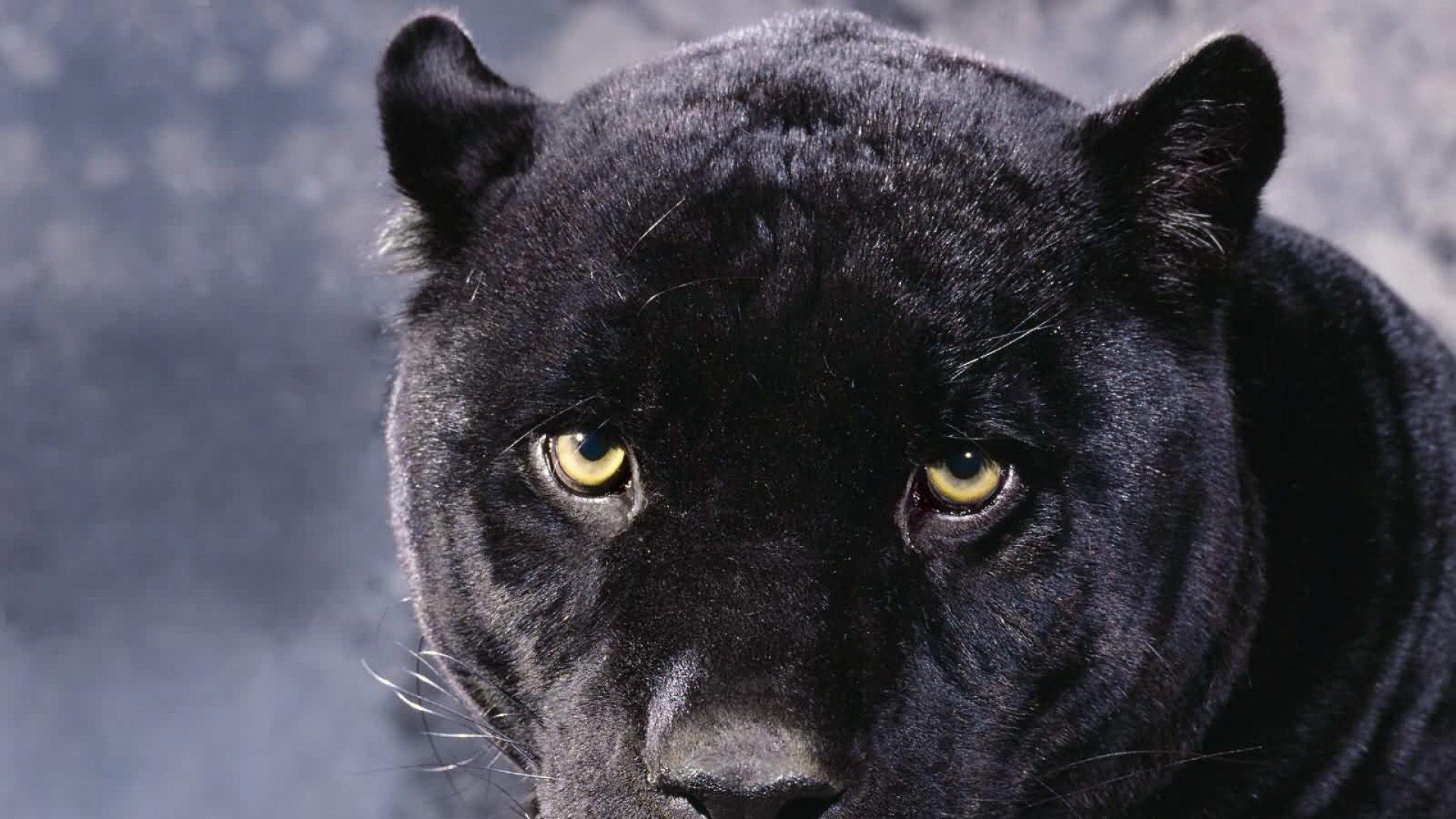 1920*1080大型猫科动物高清图片