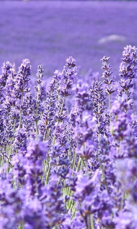紫色花海-桌面壁纸_360手机助手