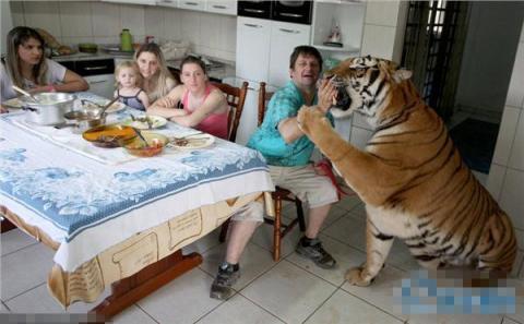 巴西土豪养老虎